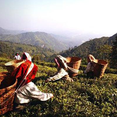 Makaibari Tea Garden